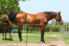 Flick (Ma Migliano) Tags: horse brown jump castanho vermelho salto cavalo pferd flick bh marrom avermelhado equitao showjump hipismo brasileirodehipismo cercachoque cercaxoque fitachoque