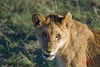 Lion cub, Masai Mara (Hani London) Tags: africa game nature animal nikon kenya wildlife lion reserve safari masai masaimara d80 aplusphoto vosplusbellesphotos flickrbigcats lightiq