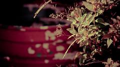 Old timey flower... (Henning_Christensen) Tags: old camping party sun flower mom perfect shine mother late henning christensen lightroom grimstad austagder henningchristensen