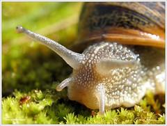 Dis bonjour à l'objectif   Say Hi to the lens (Tazintosh) Tags: snail toulouse macros escargot soe faune naturesfinest macroextreme supershot canonpowershotg5 bej abigfave platinumphoto anawesomeshot impressedbeauty macrolife excapturemacro ahqmacro vosplusbellesphotos hoyamacrofilter10