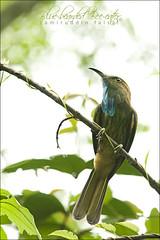 Blue-bearded Bee-eater (Nyctyornis athertoni) (Z.Faisal) Tags: bird nature nationalpark nikon beak feathers aves trail nikkor bangladesh avian bipedal bangla faisal beeeater desh chittagong d300 kurkow pakhi kaptai endothermic nikkor300mmf4 bluebearded nyctyornis athertoni bluebeardedbeeeater nyctyornisathertoni zamiruddin zfaisal rampahar shuichora neeldarishuichora neeldari peareng
