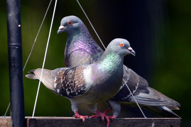 feeder pigeons 2