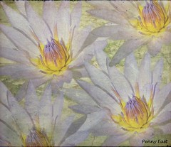 Impressions of a Water Lily (pennyeast) Tags: friends plant flower macro nature water photoshop southafrica botanical lily capetown plantae wildflower nymphaea indigenous westerncape lifeasiseeit nativetosouthafrica theloveshack nymphaeacapensis superbmasterpiece superbmasterpice papaalphaecho theloveshack capebluewaterlily awesomeblossoms