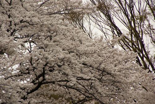 Hanami - Cherry Blossoms 2371697776_0f673a620a