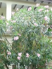 Oleander Tortola