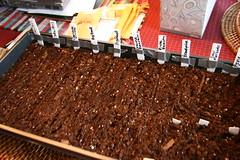 planted tomato tray