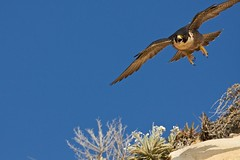 Female Peregrine Falcon just after finishing her meal (Cleeton) Tags: ca usa sandiego peregrinefalcon
