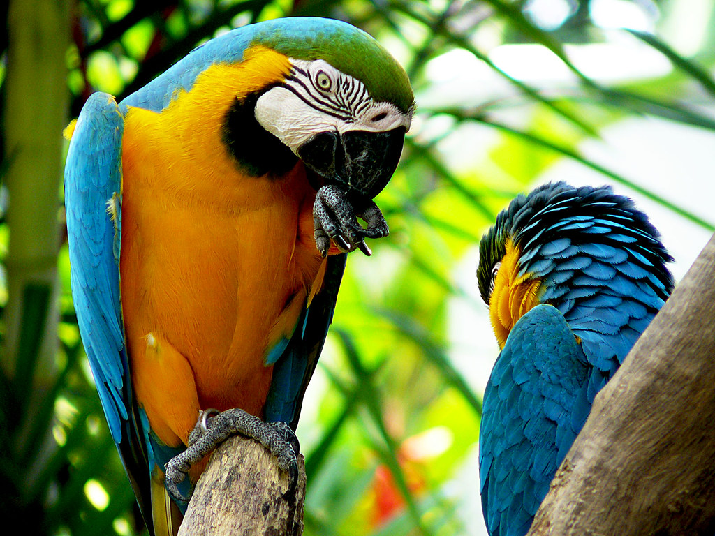 A pair of Blue and Gold Macaws (mates for life) at Jurong Bird Park in Singapore.