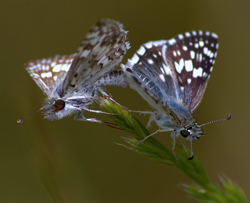 White-Checkered Skippers mating