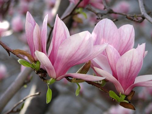 Fleur De Magnolia A Photo On Flickriver