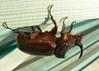 an upside down European rhinoceros beetle / neushoornkever / Nashornkäfer / Oryctes nasicornis (e³°°°) Tags: wood nature bug insect beetle kever coleoptera neushoornkever scarabaeidae kevers oryctesnasicornis nashornkäfer specinsects spectacularinsects næsehornsbille europeanrhinocerosbeetle