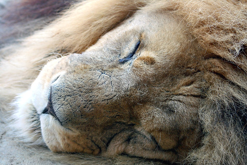 'The Lion sleeps tonight....' by law_keven