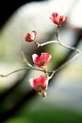 (Keely Yount) Tags: red flower tree green colors softfocus dogwood blooms limb redflowers welltaken