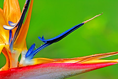 Bird of Paradise (janruss) Tags: flower floral searchthebest birdofparadise bec defenders themoulinrouge naturesfinest blueribbonwinner naturescall supershot inspiredbylove fpg amazingcolor flowerotica bej mywinners abigfave platinumphoto colorphotoaward impressedbeauty visiongroup empyreanflowers envyofflickr excellentphotographerawards brillianteyejewel overtheexcellence betterthangood thegardenofzen goldstaraward treeofhonor multimegashot photoexel 100commentgroup oraclex colorphotoawardbronze colorphotoawardsilver mywinmners colorphotoawardgold colorsinourworld janruss bestofmywinners janinerussell coth5 newgoldenseal artistoftheyearlevel3 artistoftheyearlevel4 artistoftheyearlevel5 artistoftheyearlevel7 artistoftheyearlevel6