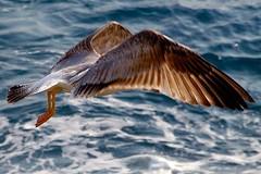 Seagull (cienne45) Tags: friends italy birds seagull gull liguria cienne45 carlonatale explore natale camogli gabbiani aplusphoto artedellafoto aplusphotoex aphotoex exploreexset explore1336