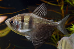 tetra_negro (Ricardo Kobe) Tags: fish negro tetra freshwater tetras