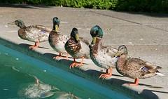 My Ducks In A Row