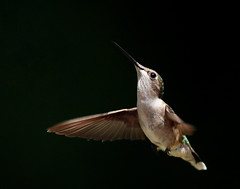Ruby Throated Hummingbird Female (ACreepingMalaise) Tags: light sun motion bird female iso800 fly frozen inflight hummingbird natural flight fast f45 stop freeze ruby hummer stopmotion hover hum 13200 400mm throated 40d avianexcellence