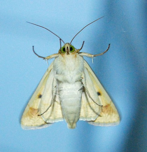 Green-Eyed Moth