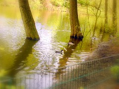Enten Idylle (Prema01) Tags: park wedding wallpaper berlin germany deutschland see enten landschaft prema berlinmitte hintergrundbild rehberge