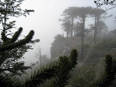 Araucaria in the mist (jesperbergmann) Tags: tree monkey puzzle araucaria prehistoric jurassic norquinco