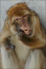 Do you have a toothpick please?  -  Avez-vous un cure-dent SVP? (SergeK ) Tags: zoo monkey beige humour toothpick 2008 singe curedent aplusphoto