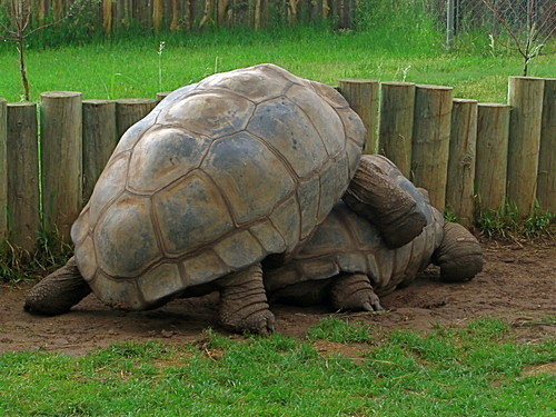 Gay tortoise sex
