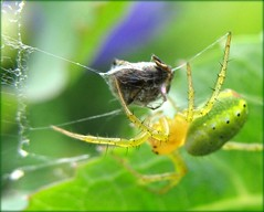 The Hunter and his delicious Prey - Pumpkin Spider (Batikart) Tags: summer plant macro green nature animal yellow closeup fauna canon germany insect deutschland spider leaf flora europa europe action sommer web natur spiderweb f100 gelb spinne grn makro 2008 in