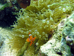 Clownfish (John & Pam Owens) Tags: travel nature ilovenature divers asia underwater philippines diving clownfish mindanao naturesfinest underwaterphotos divingphilippines 5photosaday underwaterpicturegallery philippineislescom mindanaoisland mindanaobuisnesscommunity