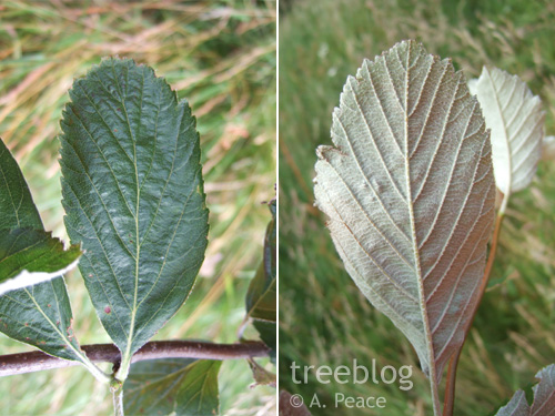 rock whitebeam leaves