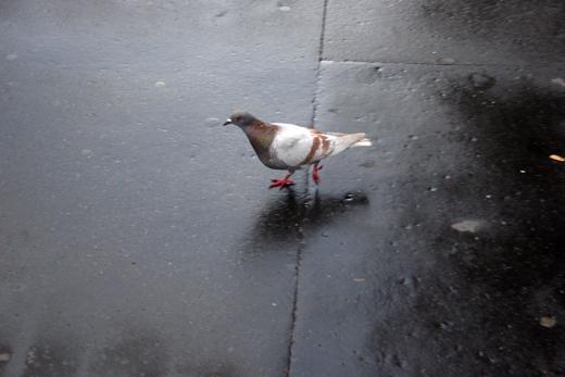 8_juillet_2008_pigeon_0368