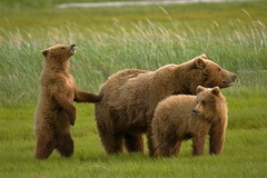 Grizzly Bears of Hallo Bay (Stephen Oachs (ApertureAcademy.com)) Tags: alaska bears grizzly naturesfinest katmai hallobay stephenoachs stephenoachscom photocontesttnc10