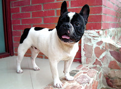 Boby (Jess Gutirrez Gmez) Tags: dog pet white black nature animal french friend colombia skin jesus bull and gutierrez frances medellin mascota boby hause tonge cruzadas sabaneta sonydscw90