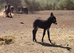 Baby Donkey and Wild Horse Fight in the Background (jhhwild) Tags: wild horse baby fight background donkey