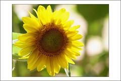 embracing the cliché (Toni F.) Tags: light sunlight flower yellow sunflower embrace girasol cliché tonif