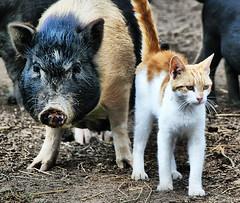 Pals (` Toshio ') Tags: friends animal animals cat feline pennsylvania farm kitty pa pigs purr hog mammals bestfriends toshio impressedbeauty aplusphoto platinumheartaward