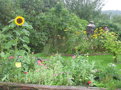Sunflowers, Farm Garden