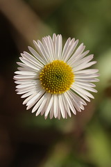 Tiny daisy (kasia-aus) Tags: plant flower nature australia daisy canberra 2008 act
