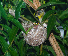 Two Hungry Mouths to Feed Come Rain or Shine (Craig Jewell Photography) Tags: tree bird leaves garden backyard branch nest feeding brisbane telephoto tiny chicks silvereye nesting hatched whiteeye perching lateralis zosterops zosteropslateralis craigjewellphotography