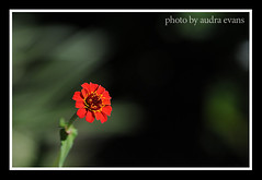 red_zinnia_0563_web
