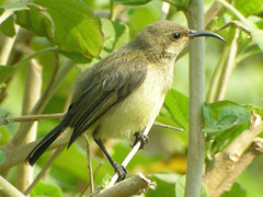 Variable Sunbird, Lilongwe (Malawi), 22-Sep-08 (Dave Appleton) Tags: bird birds malawi variable yellowbellied sunbird lilongwe passerine venustus variablesunbird cinnyrisvenustus cinnyris yellowbelliedsunbird