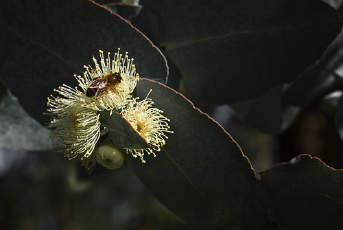 The Bee and the Gum Tree