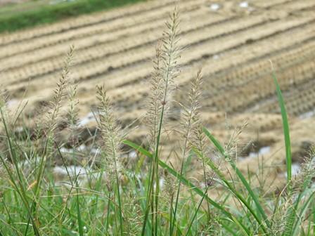 チカラシバ~稲刈り跡