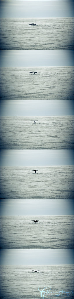 Humpback whale diving by ChristanP Photography