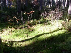 Im Wald bei Titisee (gran berry) Tags: im schwarzwald titisee