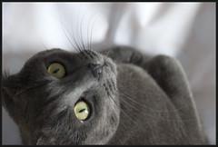 whazzup?? (francesca sara) Tags: portrait cat grey chat grigio gray felino gatto ritratto katz russianblue chartreux graycat greycat helmer certosino gattogrigio