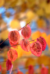 Color of passion! (SusanCK) Tags: red colorful dof fallcolor fiery backgroud colorofpassion susancksphoto leavecolor