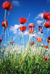 Remembering... (Trapac) Tags: uk flowers blue red summer england film field clouds meadow olympus xa2 poppy poppies remembrance agfa olympusxa2 ultra poppyfields watford agfaultra lestweforget rememberanceday remembering 166 100iso wmh olympusxa2roll3