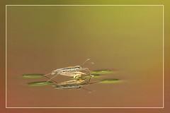 The Rain in Spain...... (hvhe1) Tags: nature animal insect bravo searchthebest wildlife naturesfinest waterskeeter specanimal hvhe1 hennievanheerden flowerreflection schaatsenrijdertje roofvogeltuindehavikshorst