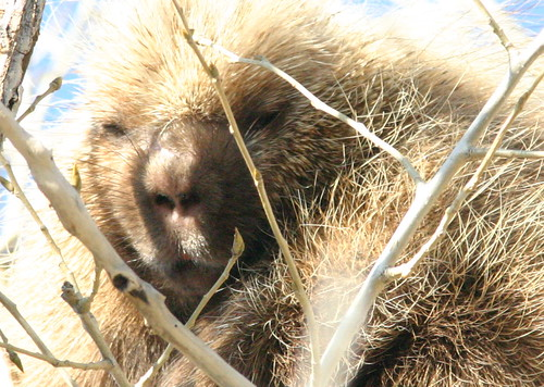 Porcupine Face 2008_11_12 Buffalo Lake